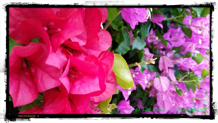 Bougainvillea in Manhattan Beach, California