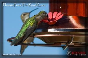 Hummingbirds feeding in the Colorado Rockies