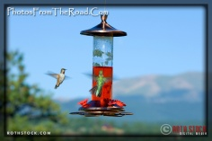 Hummingbirds feeding in the Colorado Rockies