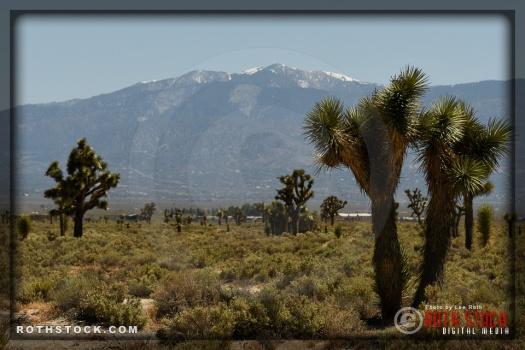 Views of Joshua Trees and the San Gabriel Mountains